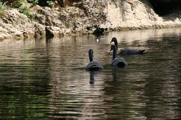 Junge Schwäne auf der Donau